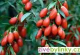GOJI - Kustovnice čínská - (Lycium chinense) NOVINKA - velké sazenice v 1l květináči