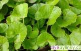 Gotu Kola - pupečník asijský  (Centella asiatica) - velké sazenice, pr.kv.12cm - NOVINKA 2017