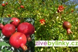 Granátové jablíčko (Punica granatum var. nana)