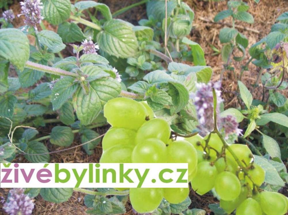 Hroznová máta (Mentha speciosa var. nepetoides)