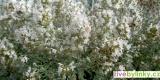Izraelská horská bylinka (Micromeria fruticosa)