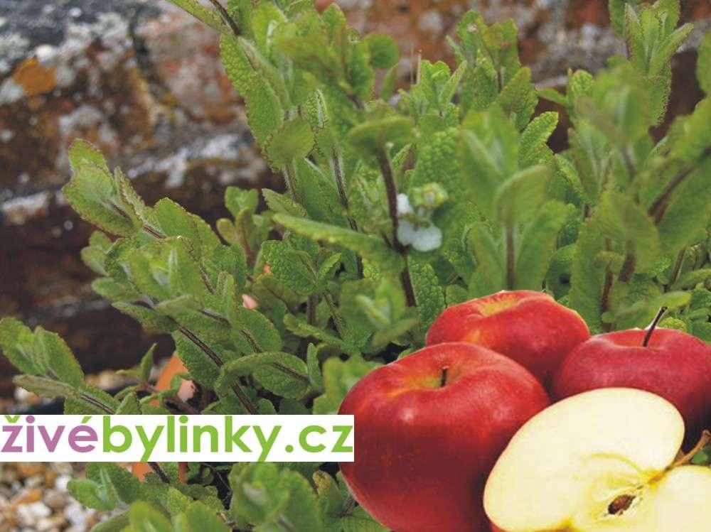 Jablečná máta (Mentha suaveolens)