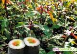 Japonský vodní pepř (Persicaria hydropiper ´Rubra´)