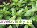 Máta peprná (Mentha piperita)