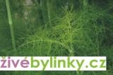 Kopr vonný (Anethum graveolens)
