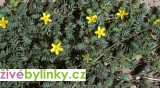 Kotvičník zemní (Tribulus terrestris) - vyprodáno