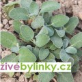 Kulinářská šalvěj ´Culinaria´ (Salvia officinalis ´Culinaria´)