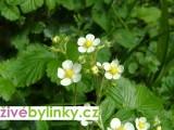 Lesní jahodník (Fragaria vesca)
