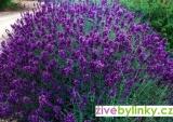 Levandule lékařská fialová (Lavandula officinalis ´Imperial Gem´)