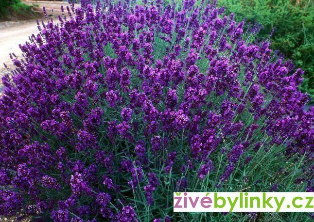 Levandule lékařská fialová (Lavandula officinalis ´Hidcote Blue´)