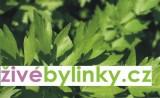 Libeček lékařský - Maggi koření (Levisticum officinale)