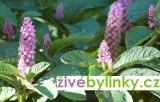 Líčidlo jedlé (Phytolacca esculenta) - vyprodáno