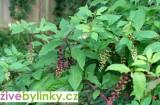 Líčidlo jedlé (Phytolacca esculenta)