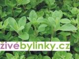 Majoránka zahradní (Majorana hortensis) - vyprodáno