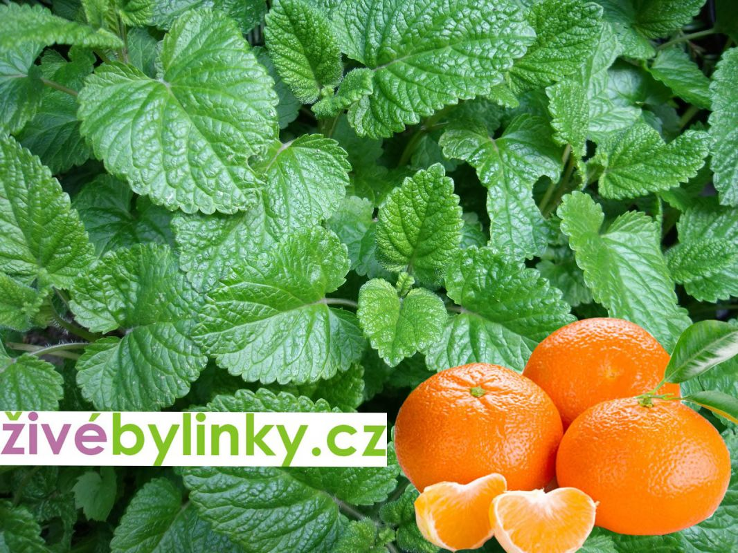 Mandarinková meduňka (Melissa officinalis ss. altissima)