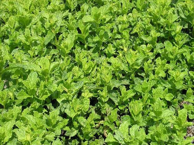 Kadeřavá máta (Mentha spicata ´Crispa´)