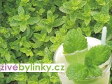 Mta Mochitov (Mentha species Mojito)