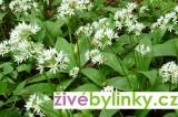 Medvědí česnek (Allium ursinum) - velká rostlina, kv.pr.12cm