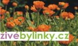Měsíček lékařský (Calendula officinalis)
