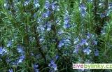 Mrazuvzdorný rozmarýn lékařský (Rosmarinus officinalis ´Blue Winter´)