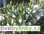 Mrazuvzdorný rozmarýn lékařský (Rosmarinus officinalis ´Blue Winter´) NOVINKA JARO 2017