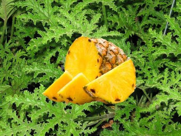 Muškát s vůní ananasu (Pelargonium odoratissimum)