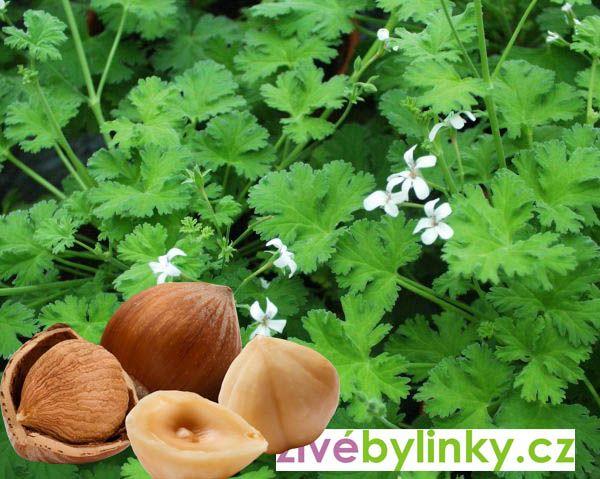 Muškát s vůní lískových ořechů (Pelargonium odoratissimum ´Hazelnut´) - NOVINKA 2017