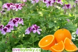 Muškát s vůní pomerančů (Pelargonium odoratissimum ´Odorata Orange´)