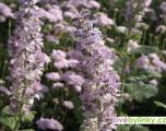 Muškátová šalvěj (Salvia sclarea)