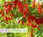 Schizandra čínská - Klanopraška  (Schizandra chinensis) - velká rostlina