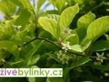 Schizandra čínská - Klanopraška (Schizandra chinensis)