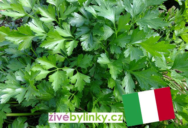 Neapolská hladkolistá petržel (Petroselinum crispum ´Gigante di Neapoli´) - NOVINKA JARO 2018