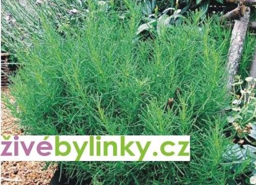 Olivová nať (Santolina viridis)
