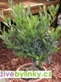 Olivovník (Olea europea) - velký zapěstovaný stromek