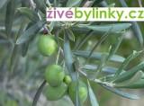 Olivovník (Olea europea)