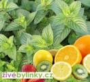 Zvětšit fotografii - Ovocná máta (Mentha sp. Multimentha)