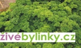 Petrželka kudrnka ´Aphrodite´ (Petroselinum crispum ´Aphrodite´)