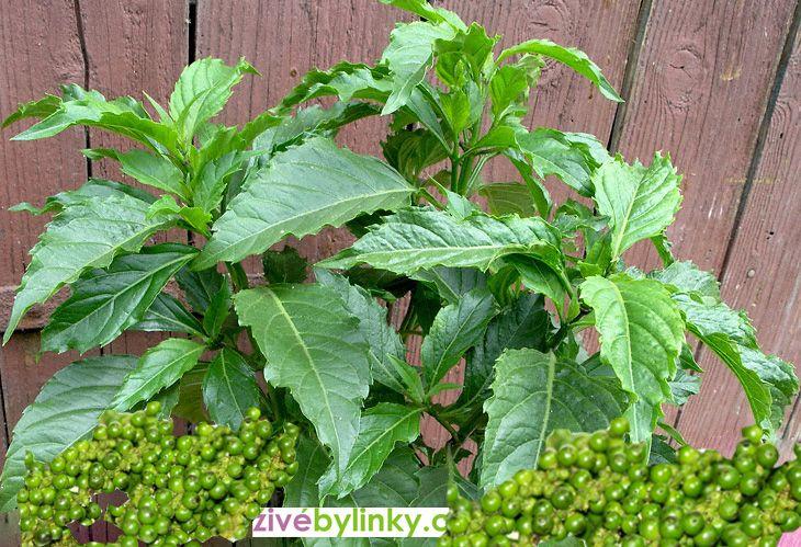 Pikantní bazalka s vůní zeleného pepře (Ocimum selloi ´Green Pepper´)