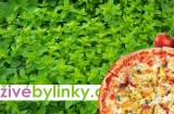 Pizza oregáno ´Hot & Spicy´  (Origanum vulgare ´Hot & Spicy´)