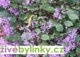Kapský plectranthus (Plectranthus saccatus) - Rostlina z Jižní Afriky