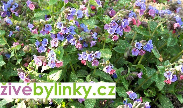 Plicník lékařský (Pulmonaria officinalis)