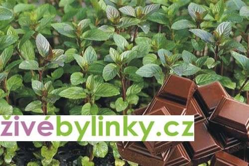 Čokoládová máta (Mentha x piperita ´Chocolade´)