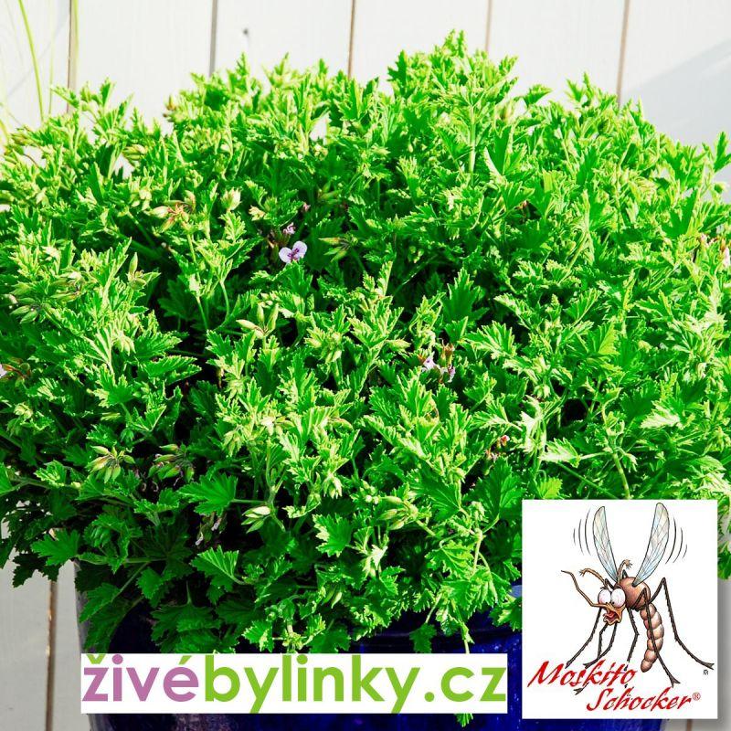 Postrach komárů - extra silný muškát MOSKITO (Pelargonium x species ´Moskito Schocker®´)