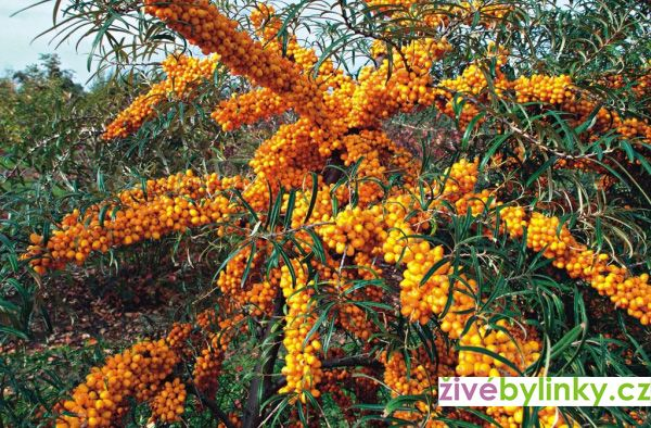 Rakytník řešetlákový SLUNÍČKO (Hippophae rhamnoides ´Sluníčko´)