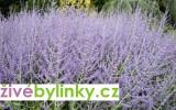Ruská šalvěj (Perovskia abrotanoides) - vyprodáno