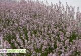 Růžová levandule lékařská (Lavandula angustifolia ´Rosea´) - vyprodáno