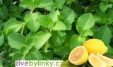 Rýmovník citronový (Plectranthus amboinicus) - NOVINKA 2017