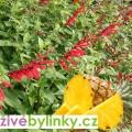 Šalvěj ananasová (Salvia rutilans ´Pino´) - NOVINKA JARO 2017