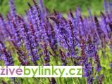 Šalvěj hajní (Salvia nemorosa)