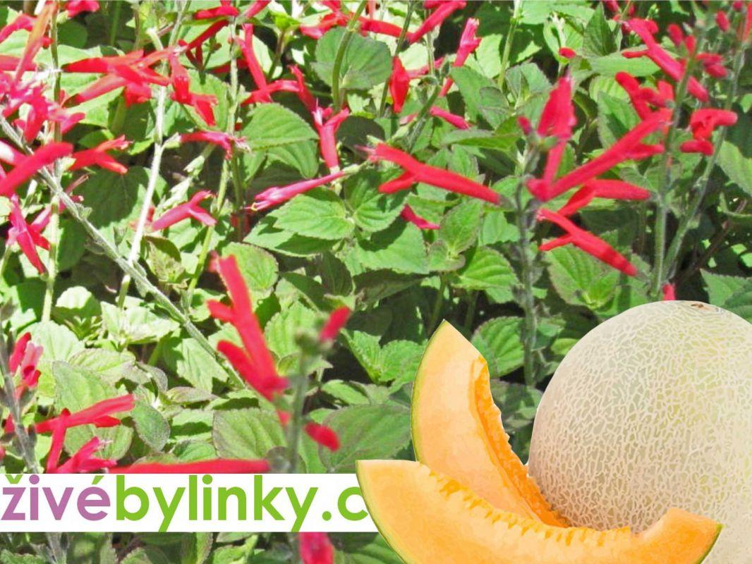 Šalvěj medový meloun (Salvia elegans ´Mello´)